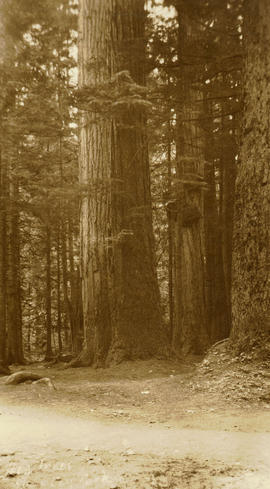 Big Trees, Stanley Park