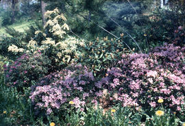 [Rhododendron] impeditum [and] racemosum [and] R[hododendron] : Veesprite Pleris and Rhodos [at] ...