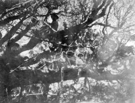 V.N.H.S. members on branches of large Arbutus [tree] on Savary Island