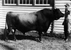 Man with brown bull