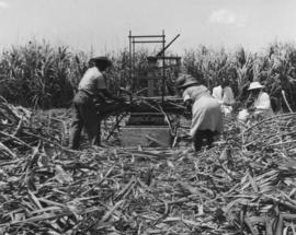Cane cars etc., pressed steel, workers and scientists in sugarcane field