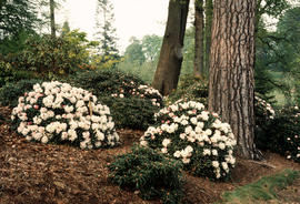 Rhododendron yakusimanum [at] Windsor Valley