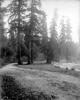 A Group of Firs, Stanley Park