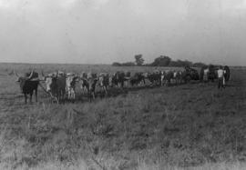 Ox team and cart in field