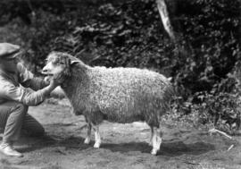 Man with Cotswold ewe in sheep competition