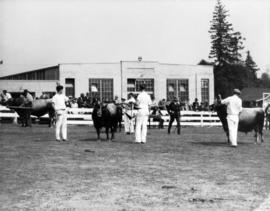 Cattle competition in livestock ring