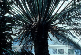 Cycas circinalis : N[ew] Y[ork] Bot[anical] G[ar]d[e]n Conservatory