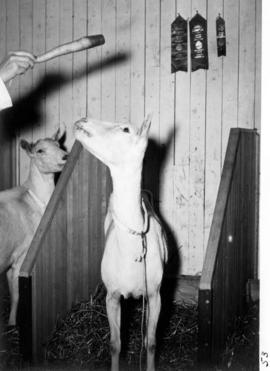 Prize-winning goat in stall with carrot held over its head