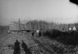 1 Harvesting sugar cane, men and truck in field