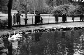 [People watching swans in pond at Stanley Park]