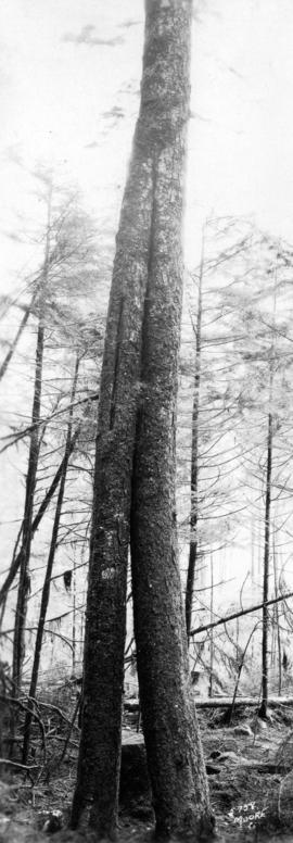 [View of two-trunked trees]