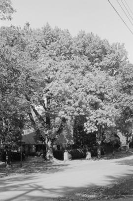 Castanea sativa [Cedar Crescent at 20th Avenue]