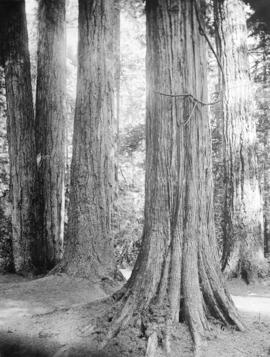 [Seven Sisters trees, Stanley Park]