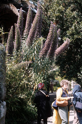 Echium wildpretii x pyramidalis at Tresco