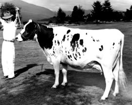 Cow on P.N.E. grounds