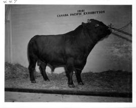 Black bull in Livestock building