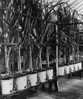 Sugar research - cane growing in containers