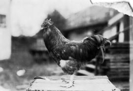 Dark-colored rooster in poultry competition