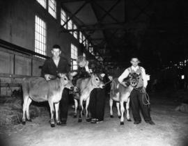 Three boys posing with calves in Livestock building