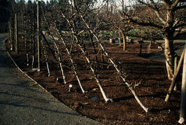Pruning : University of British Columbia espalier