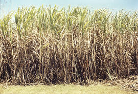 Growing sugar cane (Queensland) from Colonial Sugar Company