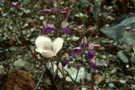 Calochortus sp. and collinsia sp.