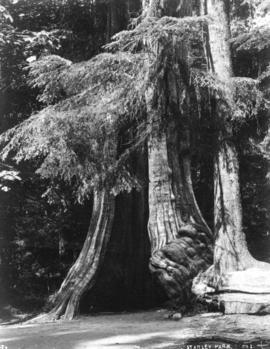 [The Hollow Tree in] Stanley Park