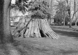 Tree stump in Maple Grove Park