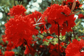 [Rhododendron] : Vineland Flame [at] Vineland Ont[ario]