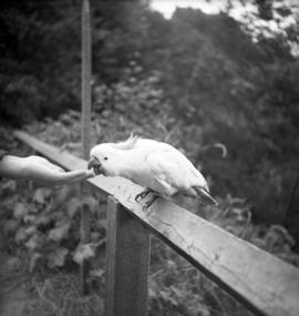 [A cockatoo being hand-fed]