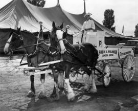 Clydesdale horses and wagon owned by Fred K. Polinder of Lynden, Wash.