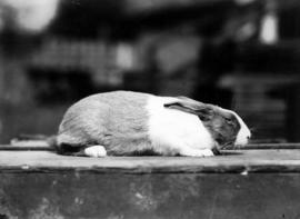 Vienna-colored rabbit in pet stock competition