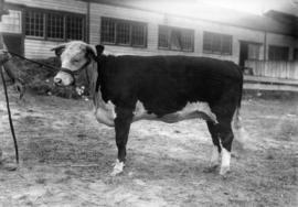 Hereford cattle by cattle barn