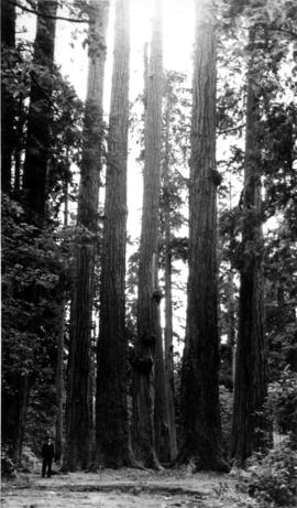 [View of] Seven Sisters [trees in] Stanley Park
