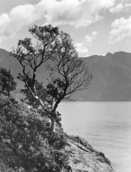 Arbutus Tree on Island Summit, near Hood Point, Howe Sound