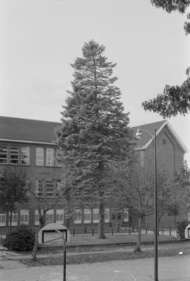 Abies (nobilis or concolor) Charles Dickens School, (N.I.I.)