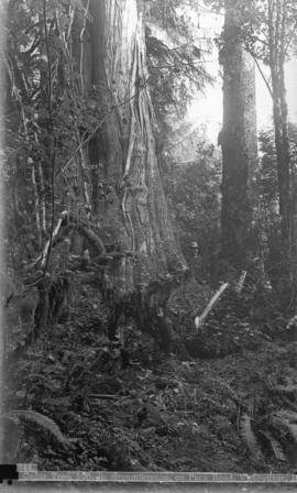 [Man standing next to] Cedar tree, 50 ft. in circumference, on Park Road, Vancouver, B.C.
