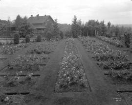 [Rose beds in General A.D. McRae's garden at Hycroft]
