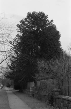 Araucaria araucana - 1904 West 16th Avenue (N.I.I.)