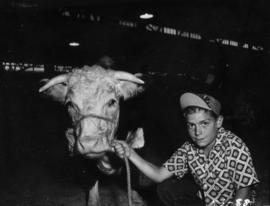 Boy posing with Hereford cattle in Livestock building
