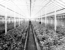 [Greenhouse interior; Brown Bros. Florists]