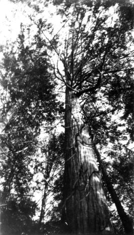 Photograph of a tree, looking up the trunk towards the sky