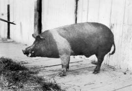 Dark-colored swine from swine competition