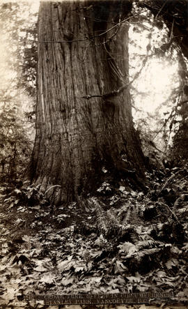 [Man leaning against] Cedar tree, 50 ft. in circumference, Stanley Park, Vancouver, B.C.