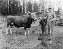 Men standing beside bull