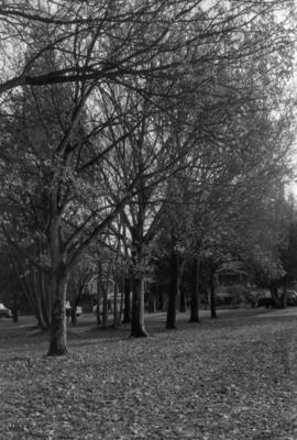 Tatlow Park, looking south, Row of London Planes