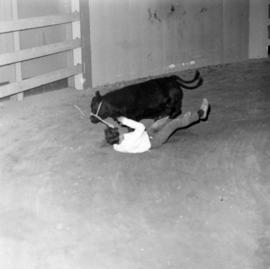 4-H Club member rounding up cow in Agrodome