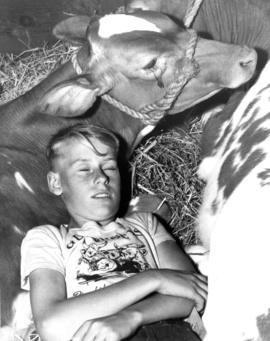 Boy sleeping beside calf
