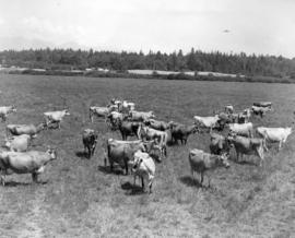 One of the Jersey Herds Standing at Ease in Pasture Looking North Towards Vancouver
