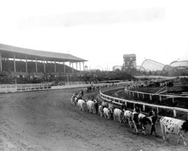 [Parade of cattle at Vancouver Exhibition]